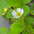 Strawberry flower close-up — Stock Photo