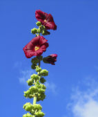 Beautiful maroon flowers on sky background — Stock Photo