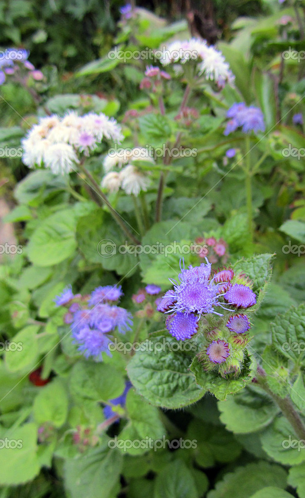 Beautiful ageratum flowers close-up — Stock Photo #13819071