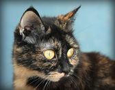 Portrait of a beautiful tortoiseshell cat on blue background, cl — Stok fotoğraf