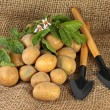 Harvest of potatoes with garden tools, close-up — Stock Photo