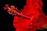 Красный гибискус — Стоковое фото