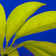 Green leaf texture with blue background — Stock Photo