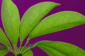 Green leaf texture on the violet background — Stock Photo