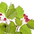 Hawthorn isolated - Stock Photo