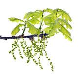 Oak, Quercus robur L — Stock Photo