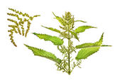 Nettle, Urtica L — Stock Photo