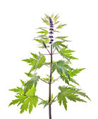 Motherwort, Leonurus L. — Stock Photo