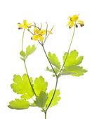 Celandine (Chelidonium) — Stock Photo