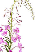 Blooming sally, Epilobium — Stock Photo