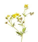 Potentilla argentea L. — Stock Photo