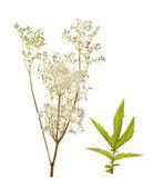 Filipendula ulmaria, meadowsweet — Stock Photo