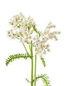 Achillea millefolium L., milfoil — Stock Photo