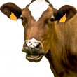 Cow portrait on isolated white background — Stock Photo #12723643