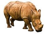 Rhino isolated on white background — Stock Photo