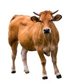 Cow isolated on white — Stock Photo