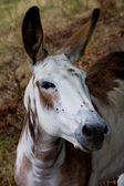 Donkey portrait — Stock Photo