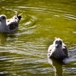 Gulls swimming — Stock Photo