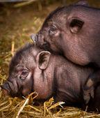 Vietnamese pigs — Stock Photo