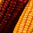 Yellow and purple corn - Stock Photo