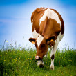 Stock Photo: Cow.