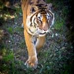 Tiger — Stock Photo #26915881