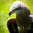 Bird of prey — Stock Photo #26916163