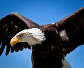Bald eagle — Photo
