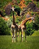 Giraffes — ストック写真