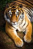 Tiger — Zdjęcie stockowe