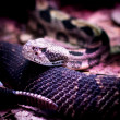 Rattlesnake — Stock Photo #36970721
