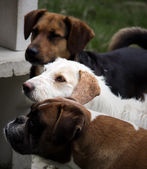 Mutt dogs — Stock Photo