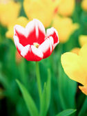 Red tulips in green grass — Stock Photo