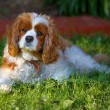 King Charles cavalier — Stock Photo #12744834