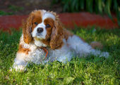 King Charles cavalier — Stock Photo