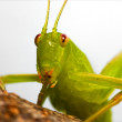 Rude katydid — Stock Photo #13685249