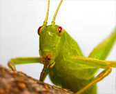 Rude katydid — Stock Photo