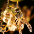 Wasp tending nest — Stock Photo