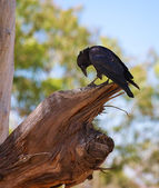 Curious currawong — Stock Photo