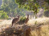 Sunrise kangaroo — Stock Photo
