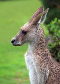 Eastern kangaroo — Stock Photo
