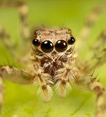 Jumping spider 2 — Stockfoto