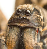 Wolf spider up close — Stock Photo