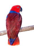 Röd papegoja — Stockfoto