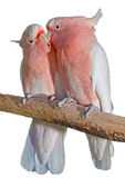 Two major mitchell cockatoos — Stock Photo