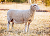 White suffolk sheep — Stock Photo