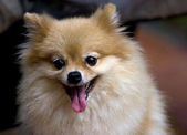 Pekingese Dog Breed — Stock Photo