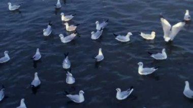 Seagulls swoop down in dark indigo sea — Stock Video