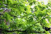 árvores de folha caduca — Fotografia Stock