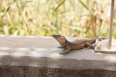 Lizard in the sun — Stock Photo